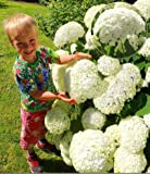 Rare Snowball Hydrangea 'Annabelle', Hydrangea paniculata 'Magical Moonlight' Hardy Perennial Flower Seeds in Border/a Large Patio Container