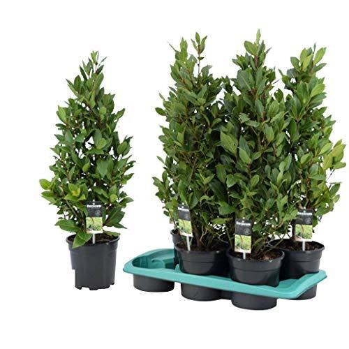Laurus Nobilis Alloro cespuglio Piante Aromatiche siepe vaso 11 altezza 30/40 cm