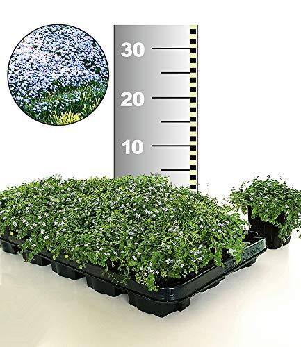 BALDUR-Garten Winterhart Isotoma \'Blue Foot®\' 50 Stk. trittfester Bodendecker, Rasen-Ersatz