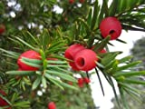 25 x English Yew tree seeds (taxus baccata) tree seeds.