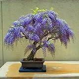 Pinkdose 15 Seeds Jacaranda Mimosifolia Seeds (Blue Jacaranda Seeds)