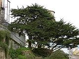 Ciprs de Monterrey, Cupressus macrocarpa, semillas de rboles (de hoja perenne, bonsai, Topiary) 30