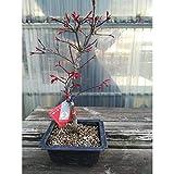 Acer palmatum deshojo 10 aos ARCE maceta de plstico