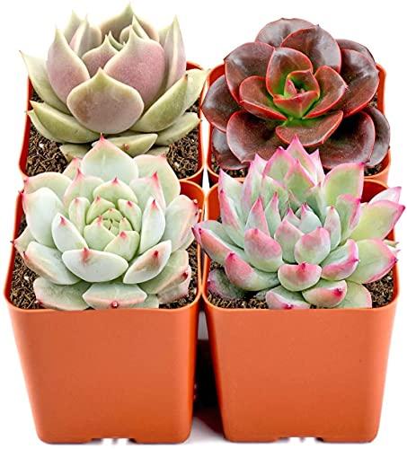 Mini Live Succulent Plants Indoor, 4 Assorted Varieties in 2'...