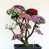 Bloom Green Co. 100 UNIDS Raras Bonsai Azalea Bonsai Flor Perenne Bonsai Hermosas Plantas Cubierta de Flores Flor Bonsai Planta DIY Jardn de su casa: 6