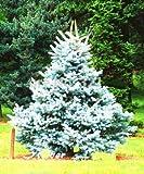 Shopvise 30 piezas Evergreen Colorado Blue Spruce Picea Pungens Semilla de Glauca Semillas para jardn Ers * Sementes: Azul