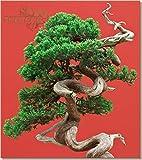 Portal Cool ** Semillas de enebro rbol de los bonsais Chinos * Juniperus chinensis * Las Semillas Frescas