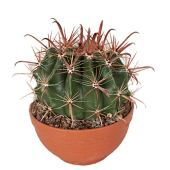 Cactus et plante grasse de Botanicly – Cactus de Baril en un bol terre cuite comme un ensemble – Hauteur: 20 cm – Ferocactus Wislizeni