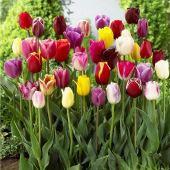 Promworld Rare graines de Multicolor,Bulbes de Tulipes - Tulipes de Couleur mélangée - circonférence de 10 cm,vivaces graines Fleurs ornementales