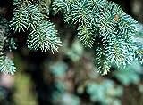 Semillas Semillas Bonsai azul Abeto Picea pungens rbol de hoja perenne 100 partculas / bag 6