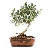 Bonsi Olivo, Olea europaea, 7 aos, altura 22 cm