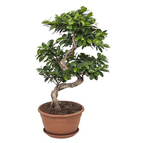 bonsaï de Botanicly – Bonsaï – Hauteur: 70 cm – Ficus Gin Seng