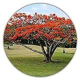 Arce rojo japons/Arce palmado japons/Arce palmado prpura/aproximadamente 50 semillas/adecuado para rbol y bonsi