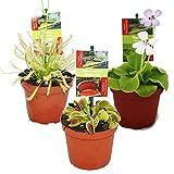 Set de iniciacin Plantas carnvoras - 3 plantas