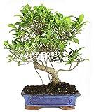 Bonsai - Ficus, 16 Aos (Bonsai Sei - Ficus Retusa)