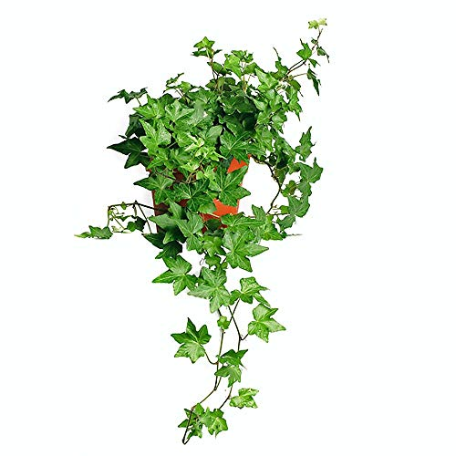 AMERICAN PLANT EXCHANGE English Ivy Baltic Trailing Vine Live Plant, 6' Pot, Indoor/Outdoor Air Purifier