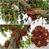 VISA STORE Racimo 100 semillas, Ficus racemosa, semilla Semillas Bonsai, nico de Tailandia Un nativo