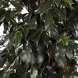 Ficus Danielle - Maceta 20cm. - Altura total aprox. 120cm. - Planta viva - (Envos slo a Pennsula)