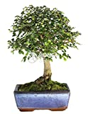 Bonsai - Olmo chino, 5 Aos (Bonsai Sei - Zelkova)