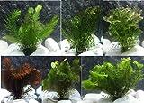 10 Plantas acuticas Oxigenantes para acuario agua dulce. Cabomba, Elodea, Ambulia, Cola de zorro, Miriophillum.