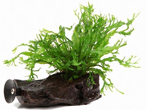 WFW wasserflora Wurzel+Saugnapf mit Javafarn Windelov/Microsorum pt. Windelov auf Wurzel+Sauger