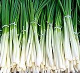 Fast-Growing Bunching Onion Seeds -'Ishikura Improved' - Liliana's Garden - USA Grown Heirloom Seeds