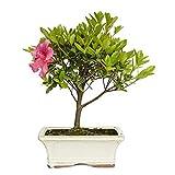 Bonsi Rhododendron indicum sp. 6 aos AZALEA