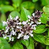 ホーリーバジル【ハーブ9cmポット苗/3個セット】日本では数品種がホーリーバジルとして販売されていますが、この品種は日本で栽培できる緑葉のラマトゥルシー(Rama Tulsi)で、クリュナ・トゥルシー(紫葉、熱帯向け)は日本では生育が難しい品種です。葉は少し切れ込みが入っていて、香りはスイートバジルより強く甘い香りです。トゥルシーとは、直訳すれば「比べることが出来ないくらい素晴らしいもの」の意味です。