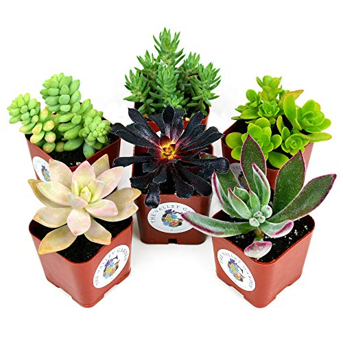 Succulent Plants 6-Pack, Fully Rooted in Planter Pots with Soil - Real...