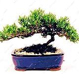 Elitely 45 piezas Ful Juniper Mixed Starter Seed Juniperus Procumbens Nana Seed para hogar y amp; Jardn: yo