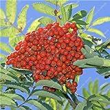 Fraxinus chinensis Semilla Beautifying Ash rbol de hoja caduca extico Semilla Bonsai Bai Shu La arbusto de jardn Inicio purificador de aire de 20 PC 1