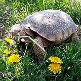 GEOPONICS Seeds: World - Mélange Tortoise Alimentaires Graines