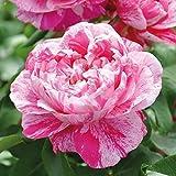 Kölle's Beste! Kletterrose 'Colibri Fabfestival®' ist eine zweifarbige, duftende Rose. Die gefüllten Blüten sind pink-weiß gestreift und haben eine nostalgische Form. Im 6 Liter Topf.