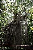 5 Semillas de Ficus Virens Hardy Banyan Tree nico extico