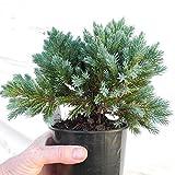 Homely 100 piezas Evergreen Colorado abeto azul Bonsai Picea Pungens Glauca Semillas Bonsai Jardn Maceta Bonsai