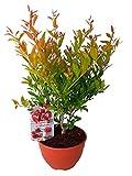 Granado (Punica granatum) rbol frutal. Perfecto para huerto urbano, prebonsai, bonsai o para plantar en exterior. Vivero especializado en plantas del mediterrneo