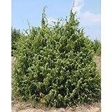 5comn Juniper Tree SemillasJuniperus communis