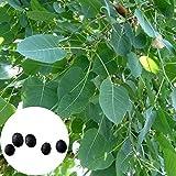 P12cheng Semillas de plantas 5 unidades/bolsa Bodhi rbol semillas ligeras de hoja perenne entrelazadas Bonsai Jardn Ficus Religiosa Semillas para plantar - Bodhi Seed
