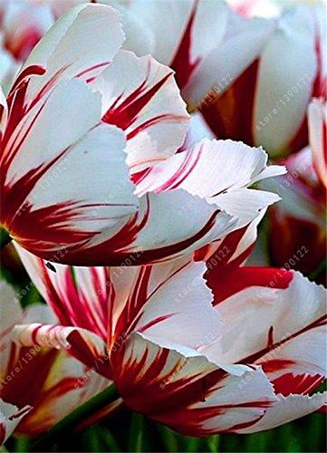 bulbes de tulipe vrai, fleur de tulipe, (pas tulipe graines), bulbes de fleurs symbolise l'amour, fleur plante tulipanes pour les plantes de jardin -2 ampoules 16