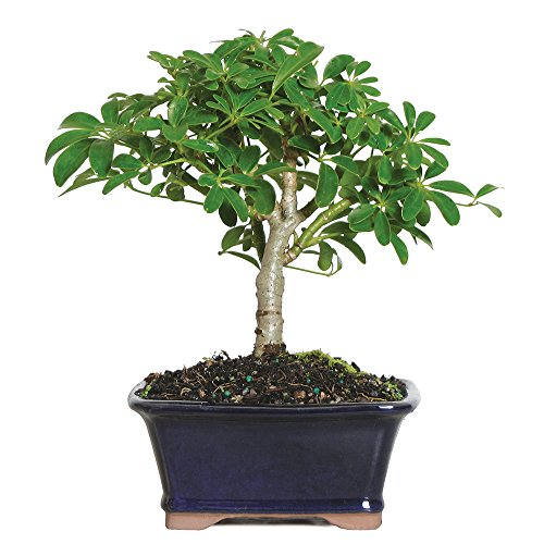 Brussel's Live Hawaiian Umbrella Indoor Bonsai Tree - 3 Years Old; 5' to 8' Tall with Decorative Container