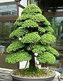 20 Semillas de Pino Cryptomeria Japonica (cedro japons)