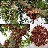 Potseed Germinacin Las Semillas de Higo Cluster: 100 Semillas, Ficus racemosa, Semillas de rboles, tailands nico oriundo