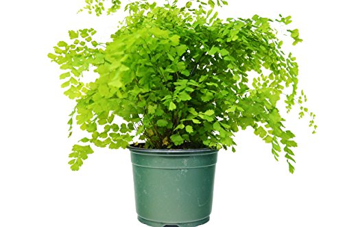 Maidenhair Fern (12' - 16' Tall) - Live Plant - FREE Care Guide - 6' Pot - Low Light House Plant
