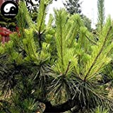 ASTONISH SEEDS: Comprar semillas de Pinus massoniana rbol 200pcs Planta Mason pino pinaster rbol de China