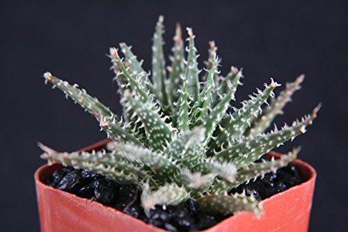 Aloe Haworthioides, Exotic Rare Succulent Plant Cacti Cactus Bonsai...