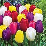 Bulbi da Fiore (10 X Tulipani TRIONFO in miscuglio)