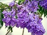 Mimosifolia JACARANDA - 60 semillas del rbol Bonsai - - SOW TODO EL AO