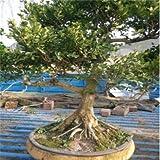 50pcs Inicio Jardn de Plantas Bonsai de boj Semillas Repelente de Insectos Una buena opcin para familias absorber el formaldehdo Mini rbol en maceta
