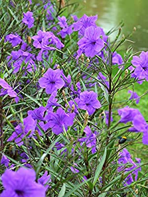 "You are buying 12 Purple Mexican Petunia ( 3-5"" in tall or more ) A Mexican petunia, or Ruellia brittoniana, is easy to grow under most conditions These plants will produce blooms in almost any type of soil, and are resistant to both drought and wet ..."