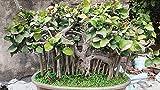 Seed Seeds Ficus Infectoria - Kari-Basari Seeds India Seeds Kitchen Garden Seeds Pack Seed (10 per Packet)